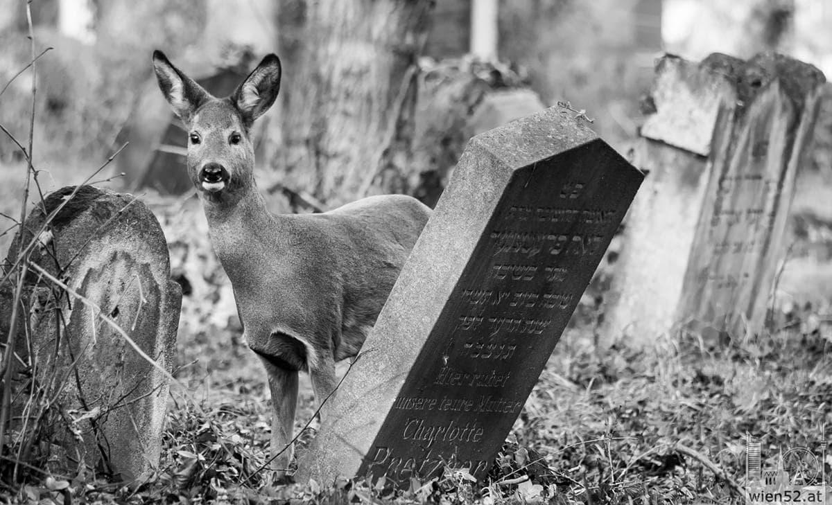 Reh  Wiener Zentralfriedhof
