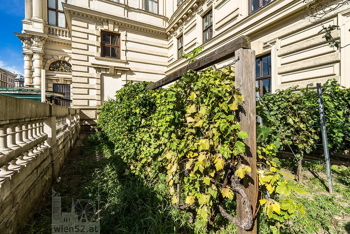 Wiens kleinster Weingarten  Schwarzenbergplatz