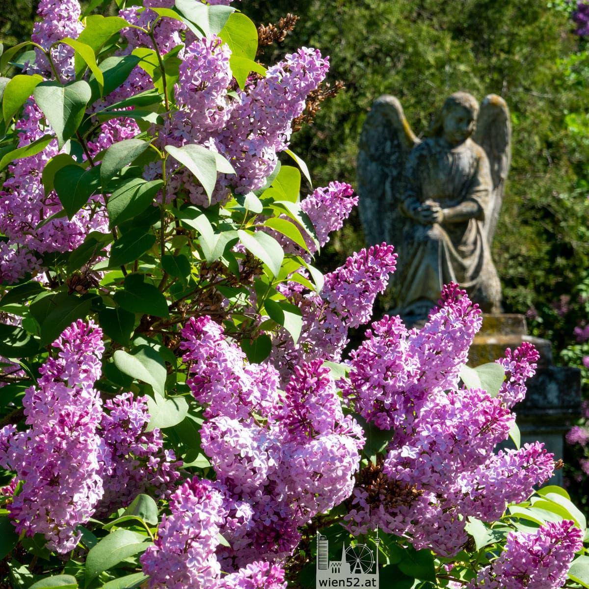 Fliederblüte am Sankt Marxer Friedhof
